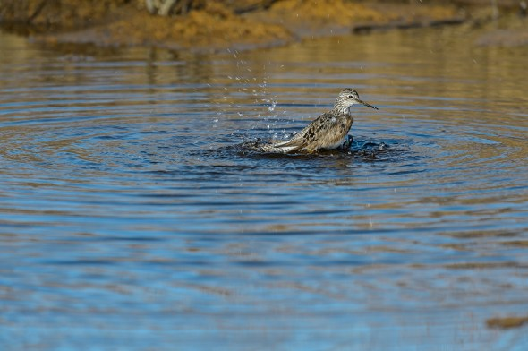 Greater-Yellowlegs-Tringa-melanoleuca-Churchill-13-020224.vv