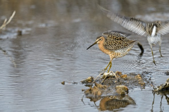 Short-billed-Dowitcher-Limnodromus-griseus-Churchill-13-018423.vv