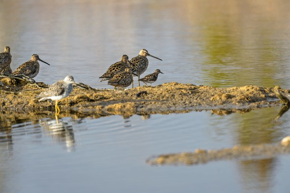 Short-billed-Dowitcher-Limnodromus-griseus-Churchill-13-018848.vv