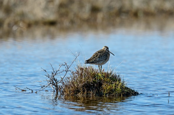 Short-billed-Dowitcher-Limnodromus-griseus-Churchill-13-021534.vv