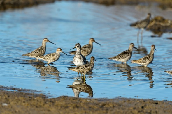 Greater-Yellowlegs-Tringa-melanoleuca-Churchill-13-020337.vv