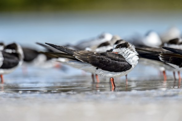 Black Skimmer (Rynchops niger) taking 40 winks