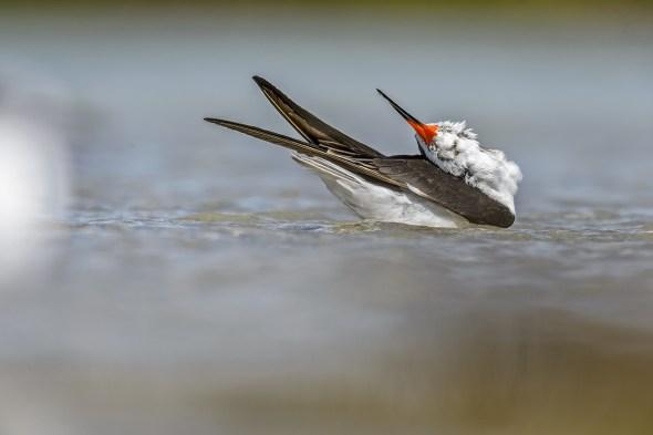 Black Skimmer (Rynochops niger) at Fort De Soto County Park beach, Florida