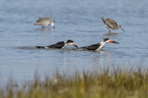Two Black Skimmers (Rynchops niger)