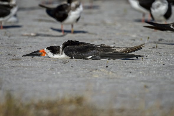 """""""Exhausted"""" Black Skimmer (Rynchops niger) - apparently a sign that he is really relaxed!"""