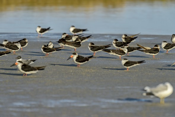 A Group of Black Skimmers (Rynchops niger) at sunset