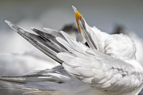 A Royal Tern (Thalasseus maximus) preening