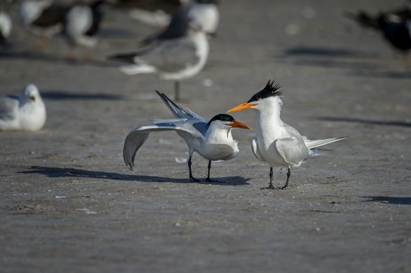 Royal-Tern-(Thalasseus-maximus)-Fort-De-Soto-County-Park-RKing-15-009779-vv