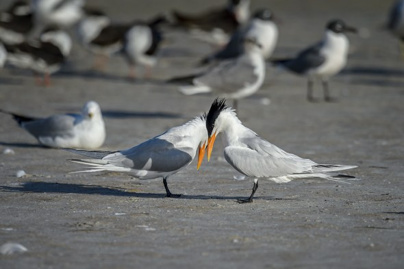 Royal-Tern-(Thalasseus-maximus)-Fort-DeSoto-County-Park-RKing-15-009801-vv