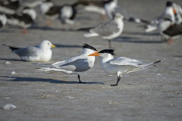 Royal-Tern-(Thalasseus-maximus)-Fort-DeSoto-County-Park-RKing-15-009814-vv