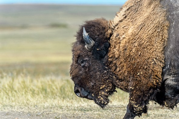 Buffalo-(Bison-bison)-Badlands-National-Park-Interior,-SD-RKing-15-041998-vv