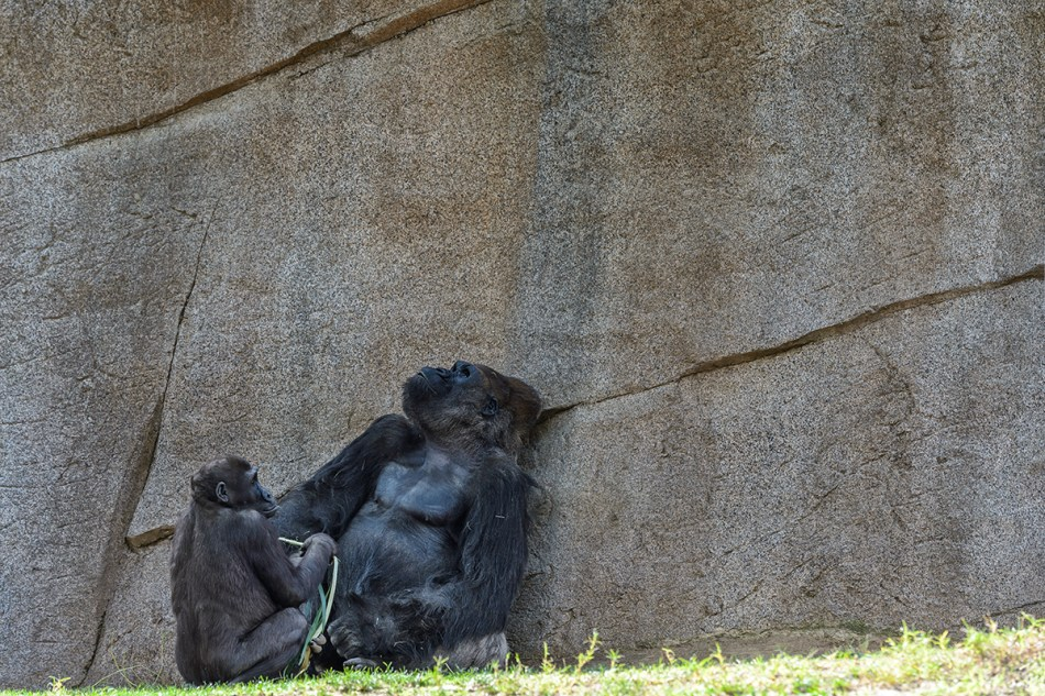 Younger Gorilla with food, Silverback awaits his