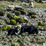 Black Bears on the Beach