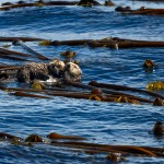 Mum and Pup Sea Otters (Enhydra lutris)