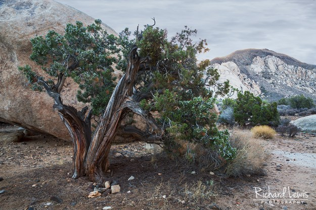Surviving Juniper Tree in Joshua Tree National Park by Richard Lewis