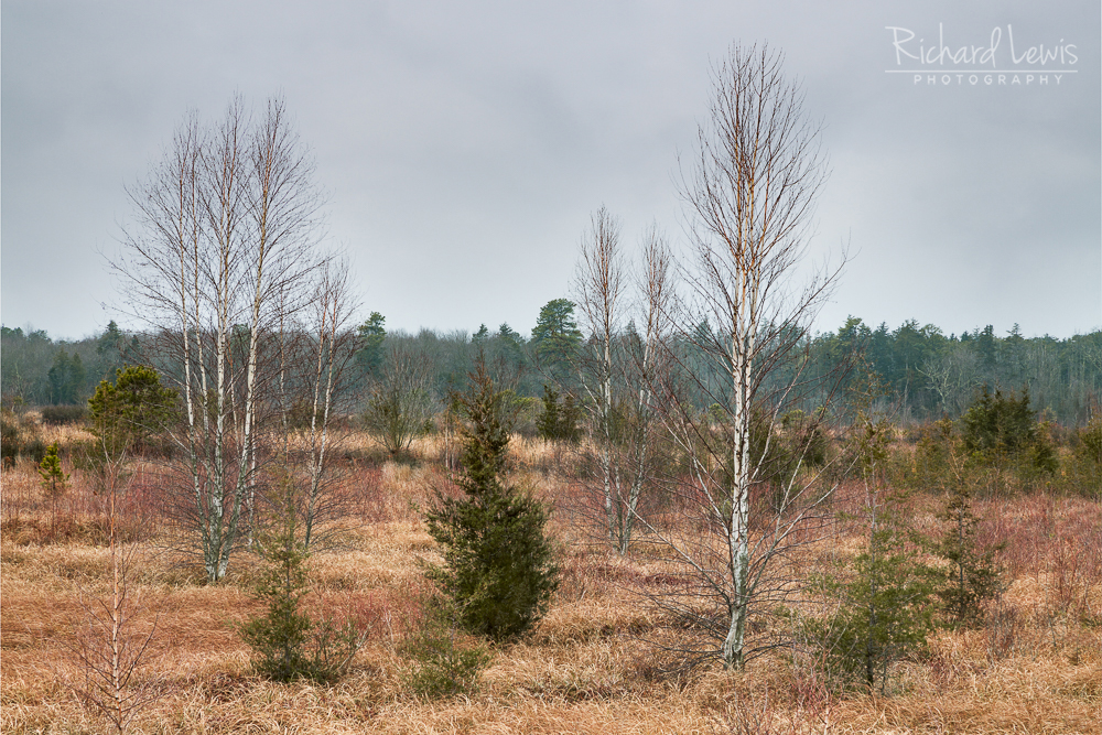 Birches In A Bog in the Pine Barrens by Richard Lewis
