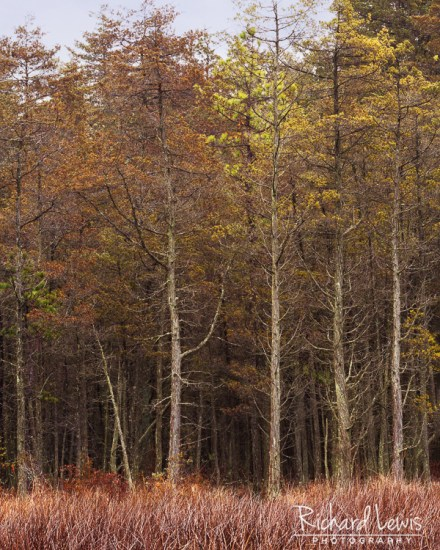 Cedar Stand in the NJ Pine Barrens by Richard Lewis