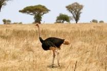 Ostrich - Tarangire
