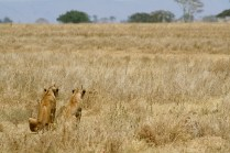 Lions hunting haartebeest - Serengeti