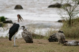 Marabou stork & white-backed vultures - Mara River