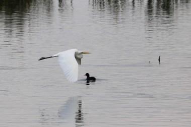 Great Egret, Shapwick Heath, Somerset