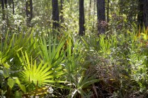 Palmettos and Pine Forest; Skye Development Co.