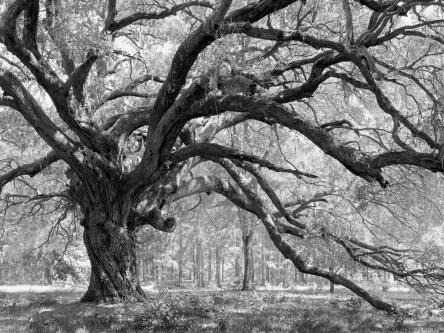 Lady's Island Oak
