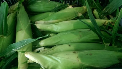 Bicolour or Yellow Sweet Corn Available Mid July until October, weather permitting