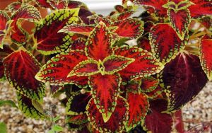 Variegated leaves of a Coleus