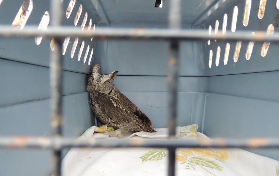 Sally's New Screech Owl!