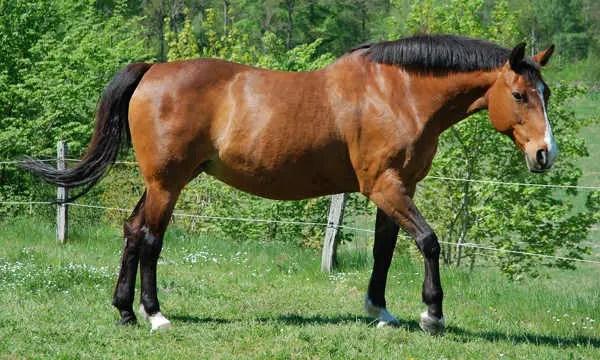 fantasy horse - bay horse