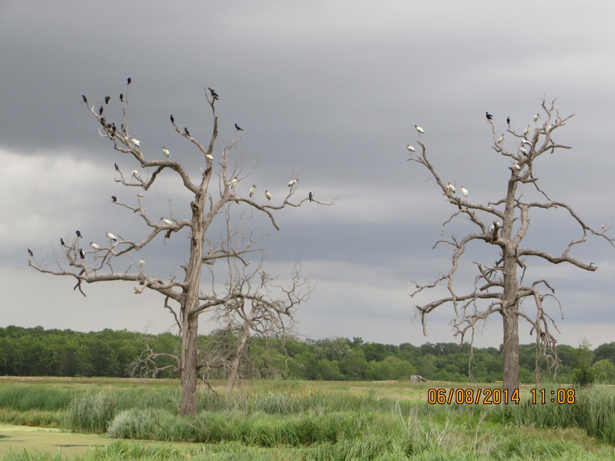 Wood Storks Everywhere