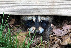Richmond VA Raccoon Removal & Trapping