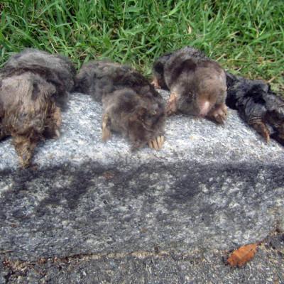 mole trapping