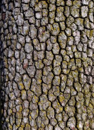 Cornus florida, dogwood - divided into small, scaly blocks