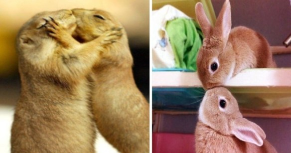 photos of animals kissing   two meerkats Prairie dogs standing on their back legs and hugging each other with their eyes closed and their faces pressed together. two cute bunnies one standing on a lower level and one beneath it touching mouths as if they're kissing smooching