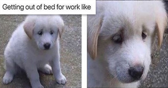 dog doggo memes funny lol animals cute aww dogs | getting out of bed for work like two pics of a very sad looking white puppy dog looking down and closeup on the face of that pupper cute black nose looking tired