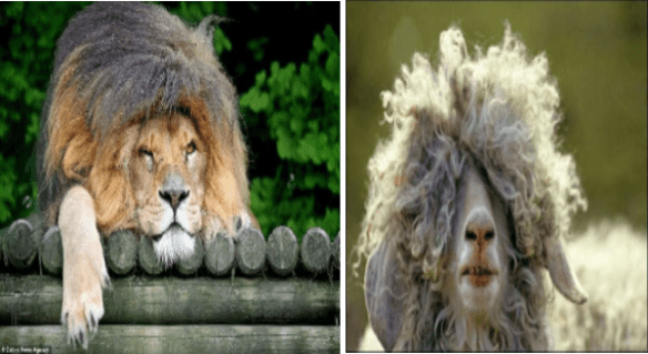 Animals with bad hair day | lion lying on its belly with its long matted mane flopping in its face | sheep with overgrown fur wool hiding covering its eyes