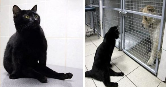 black cat disabled clinic support comfort amazing cats helpful animals | cute black cat paralyzed rear legs sitting like a person on top of its back legs in front of a cage housing a dog