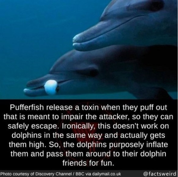 Marine mammal - Pufferfish release a toxin when they puff out that is meant to impair the attacker, so they can safely escape. Ironically, this doesn't work on dolphins in the same way and actually gets them high. So, the dolphins purposely inflate them and pass them around to their dolphin friends for fun. Photo courtesy of Discovery Channel / BBC via dailymail.co.uk @factsweird