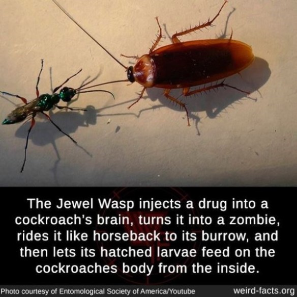 Insect - The Jewel Wasp injects a drug into a cockroach's brain, turns it into a zombie, rides it like horseback to its burrow, and then lets its hatched larvae feed on the cockroaches body from the inside. Photo courtesy of Entomological Society of America/Youtube weird-facts.org