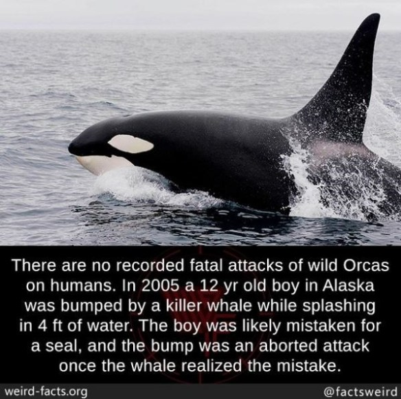 Killer whale - There are no recorded fatal attacks of wild Orcas on humans. In 2005 a 12 yr old boy in Alaska was bumped by a killer whale while splashing in 4 ft of water. The boy was likely mistaken for a seal, and the bump was an aborted attack once the whale realized the mistake. weird-facts.org @factsweird