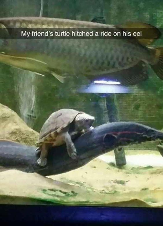 Vertebrate - My friend's turtle hitched a ride on his eel