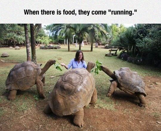 """Tortoise - When there is food, they come """"running."""""""