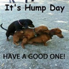 hump day weiner dogs