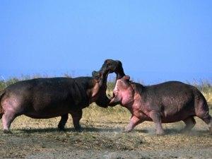 hippo vs hippo