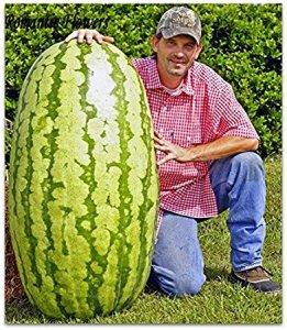 a huge watermelon