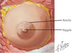 diagram of a niplle and an areola