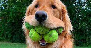 dog-with-five-tennis-balls-in-his-mouth-vocabulario-en-inglés-crammed