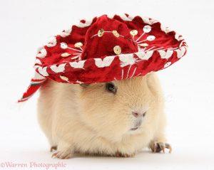 guinea pig in a sombrero